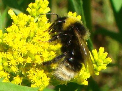 Humble Bee2