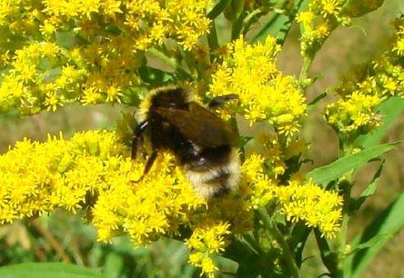 Humble Bee3